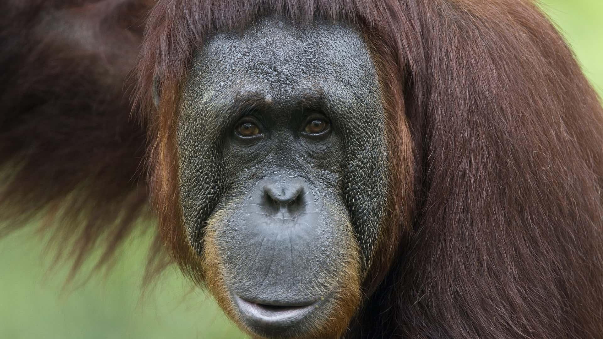 Даже обезьяны чистят зубы